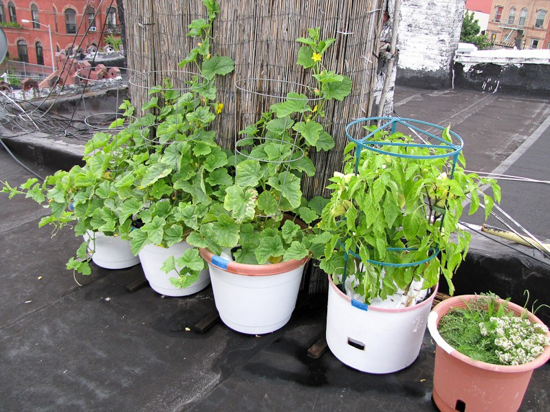 Rooftop vegetable gardens 2012